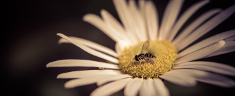 Low key cross processed macro photograph of an insect atop a daisy