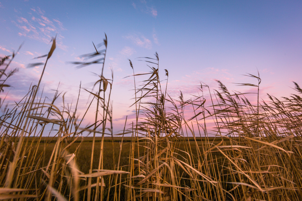 Wide angle landscape photograph of phragmites and salt marsh at sunset