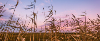 Wide angle landscape photograph of phragmites and salt marsh at sunset