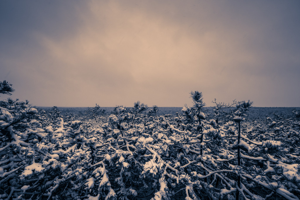 Monochrome photograph of light snow covered pygmy pines of the New Jersey Pinelands