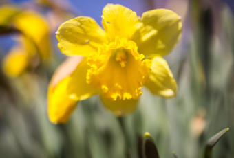 Photograph of a freshly bloomed daffodil