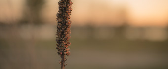 Shallow depth of field photograph of a single tall sprig of grass
