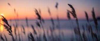 Shallow depth of field sunset photograph of phragmites along Barnegat Bay