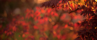 Shallow depth of field vertical orientation photograph of a blooming Japanese Maple at golden hour