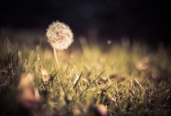 Low key shallow depth of field photograph of a lone dandelion seed head amid grass