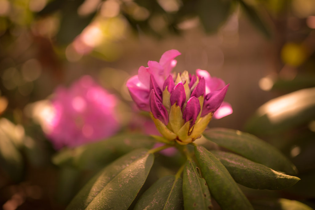 Shallow depth of field photograph of a blooming pink rhododendron bud
