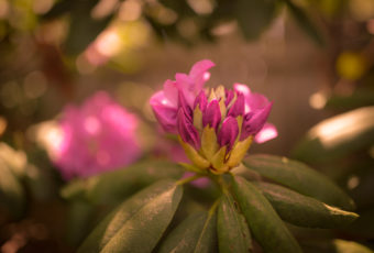 Shallow depth of field photograph of a blooming pink rhododendron bud.