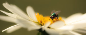 Macro photograph of a blue bottle fly pollinating a daisy blossom