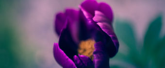 Shallow depth of field photograph of a single purple peony blossom.