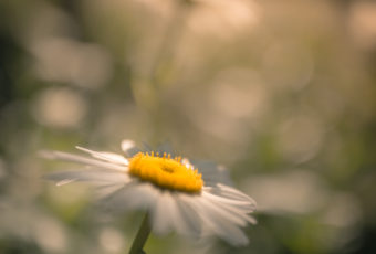 Square format photograph of a sunlit daisy blossom backed by smooth bokeh and soft focus.