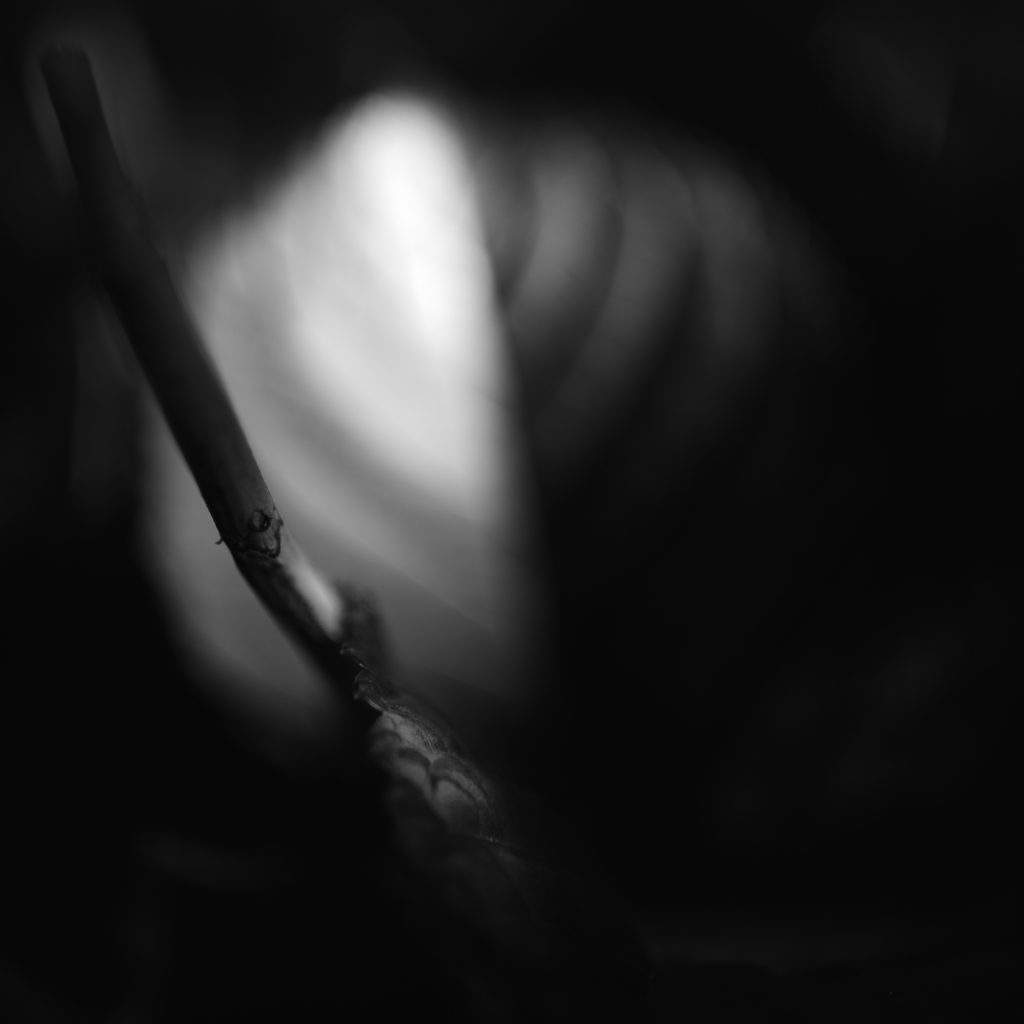 Square format black and white photo of hydrangea leaves in low key abstract noir.