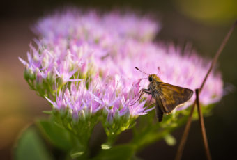 Macro photograph of silver-spotted skipper butterfly feeding on sedum.