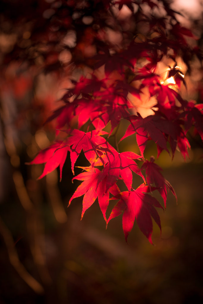 Golden hour photo of a Japanese Maple with autumn red leaves and smooth bokeh.