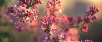 Lilac photo captured with soft focus in afternoon light.