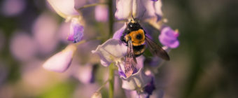 Macro photo of a carpenter bee collecting wisteria pollen.