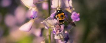 Macro photo of a carpenter bee collecting wisteria pollen.