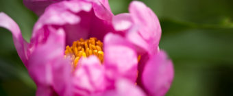 Pink peony macro photo of petals and stamen.