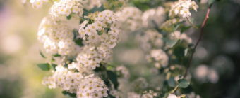 Spirea blossoms photo with smooth bokeh and soft focus.