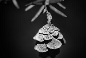 Black and white hemlock pine cone macro photo in square format.