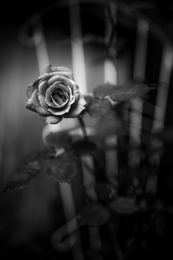 Rose blossom photo in low key black and white.