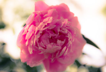 Square format pink peony blossom photo with bokeh.