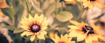 Shallow depth of field photo of autumn colors black-eyed susans.