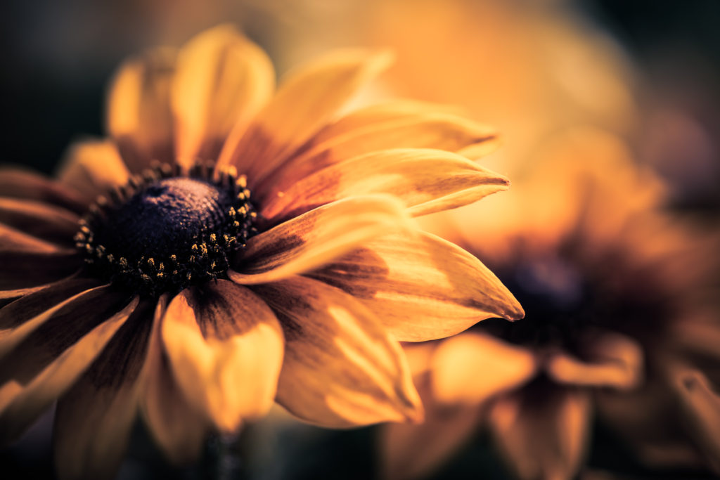 Black-eyed Susan macro photo with bokeh and shallow depth of field.