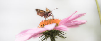 Macro photo of silver-spotted skipper feeding on purple coneflower nectar.