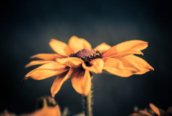Black-eyed Susan macro photo with bokeh.