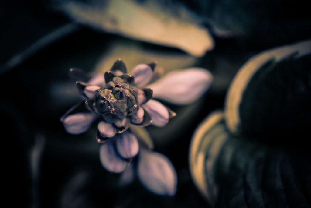 Hosta blossom macro photograph in low key.