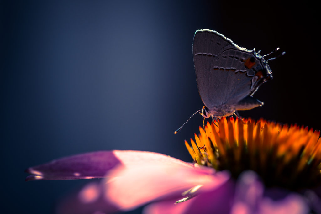 Macro photo of eastern tailed blue butterfly atop purple coneflower.