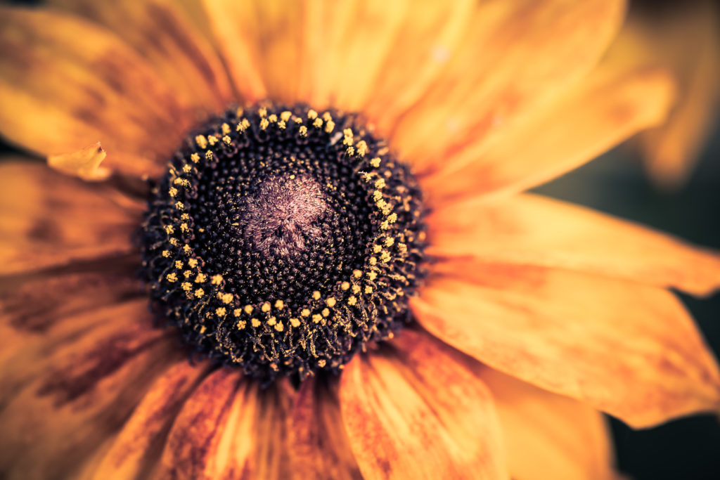 Black-eyed Susan macro photo top down perspective.