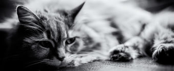 Black and white photo of a Maine Coon cat.