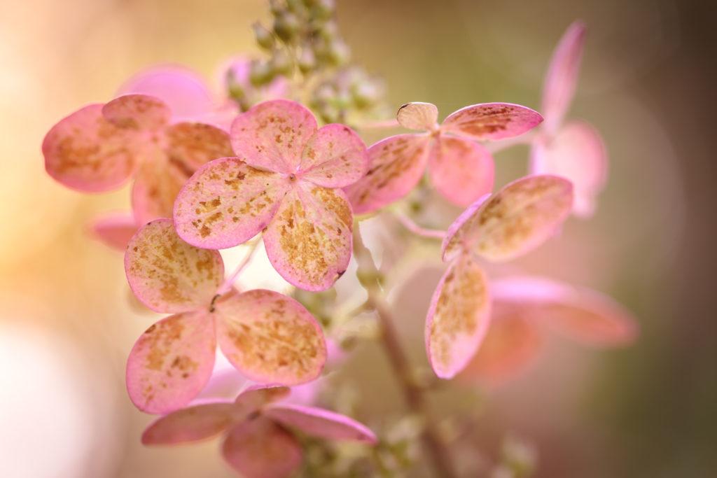 Quick fire hydrangea flower macro photo.