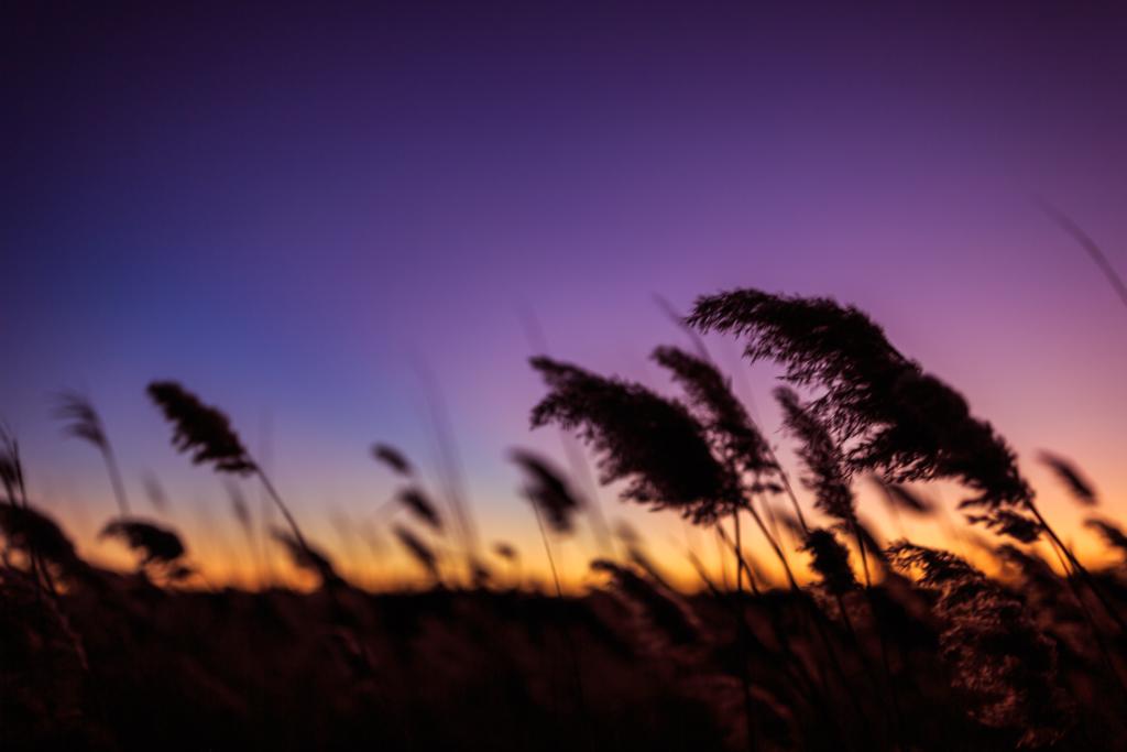 Salt marsh photo of wind blown phragmites at blue hour.