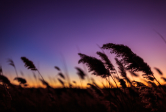 Salt marsh photo of wind blown phragmites at blue hour.