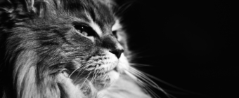Black and white Maine Coon portrait photo.