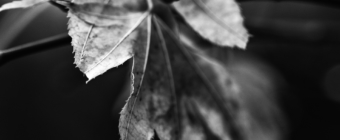 Withered Japanese maple leaf macro black and white photograph.