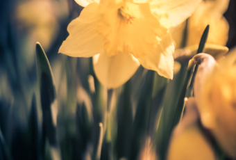 Daffodil photos with smooth bokeh and shallow depth of field.