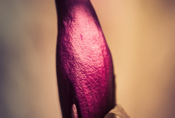 Single Jane Magnolia bud photographed in macro at 100mm focal length.