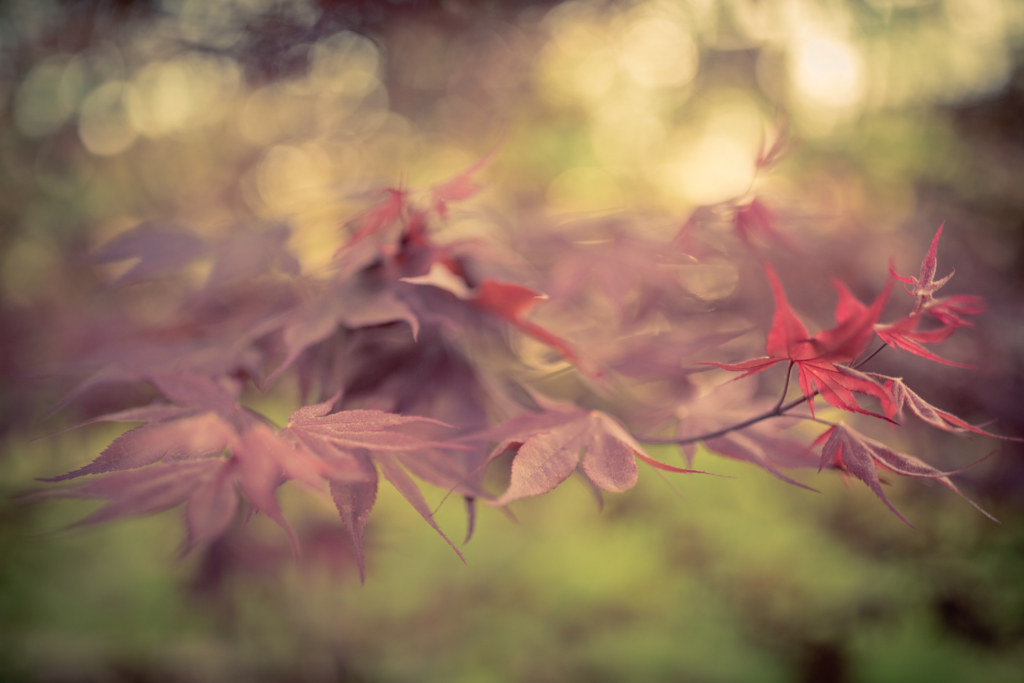 Japanese maple leaves photographed in golden hour light with shallow depth of field producing bokeh.