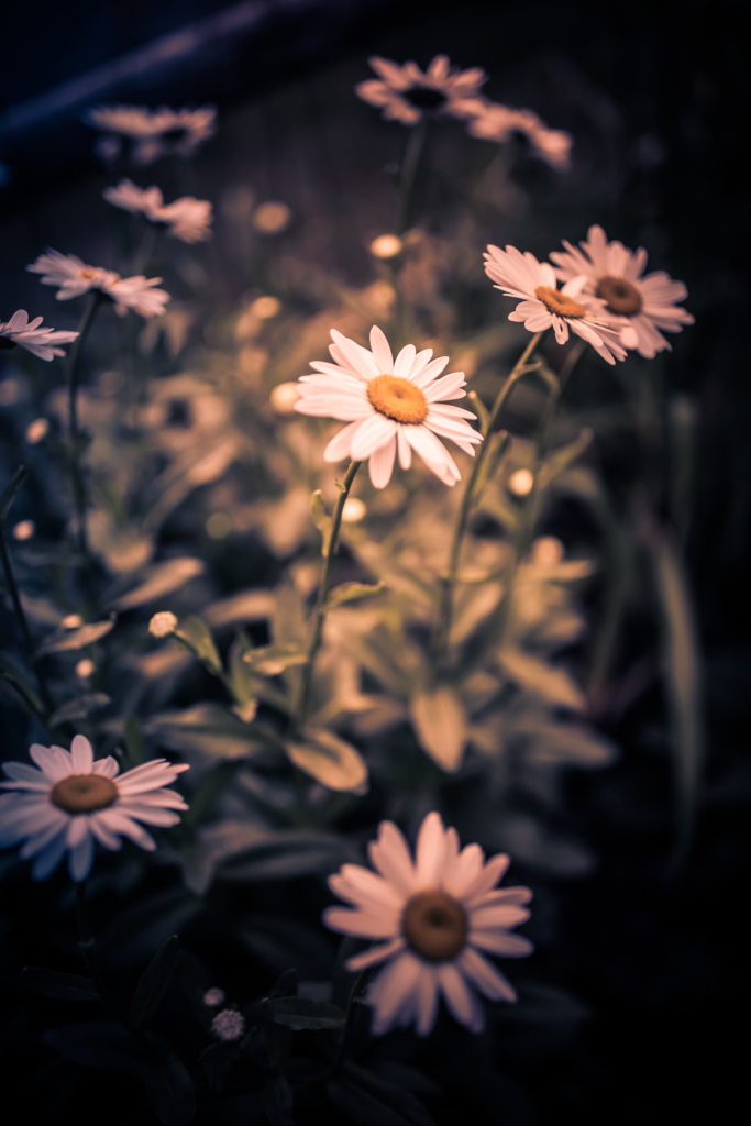 White daisy blossoms photographed at 35mm in low key vertical orientation.