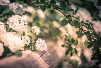 Soft focus 35mm photograph of spirea blossoms and bokeh.