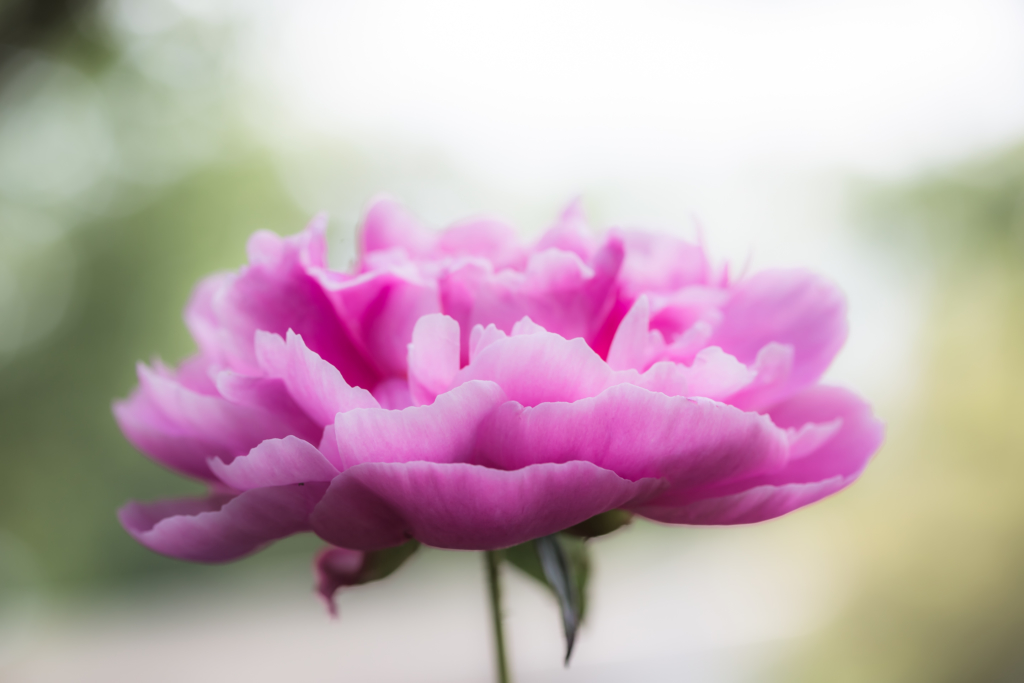 High key macro photo of a peony flower surrounded by bokeh.