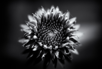 100mm black and white macro photo of echinacea.