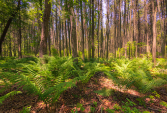 14mm wide angle photograph of Pinelands pine trees and ferns.