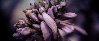 100mm macro photograph of hosta flower in low key.