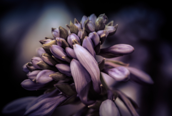 100mm macro photograph of hosta flower in low key.