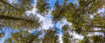 Upward facing 35mm photograph of blue sky and pine trees.