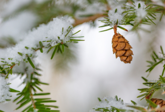 100mm macro photo of a Hemlock tree pine cone hanging from snow covered pine boughs.